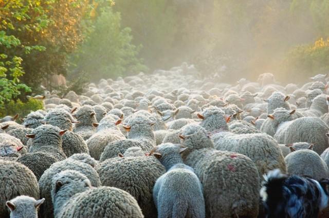 Troupeau-de-moutons-002[1]