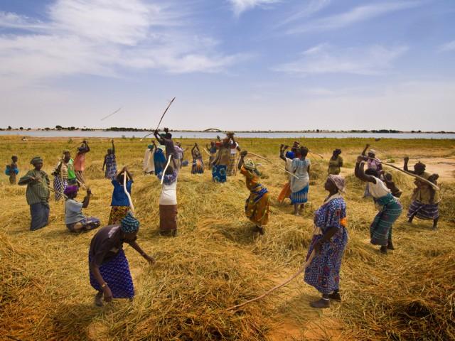 Rice Harvest near Timbuktu