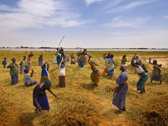 Rice Harvest near Timbuktu